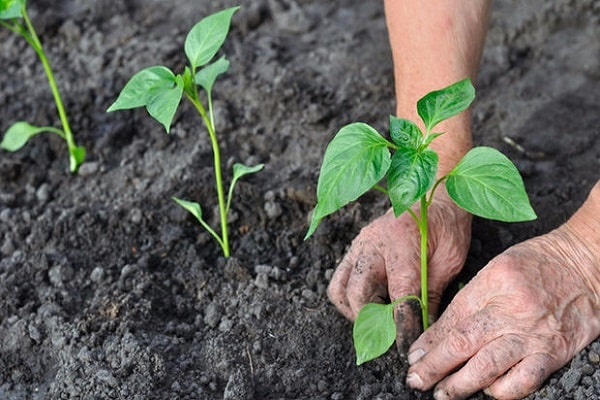 período vegetativo