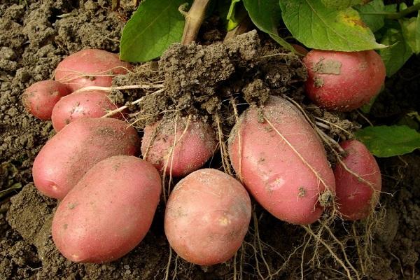 o singură legumă rădăcină