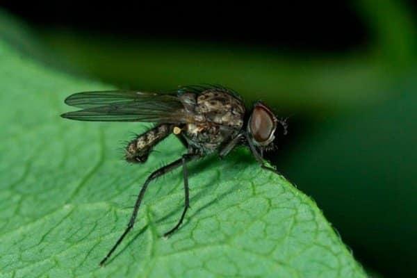 brote de mosca