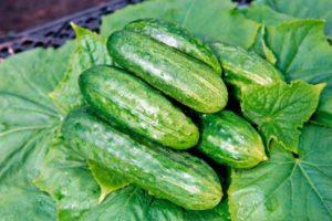 Charakteristiky a opis odrody dočasnej uhorky, jej výnos