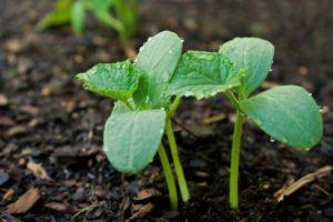 Ako správne sadiť, pestovať a starať sa o sadenice uhoriek