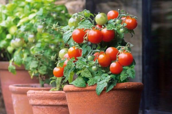 mică grădină de legume