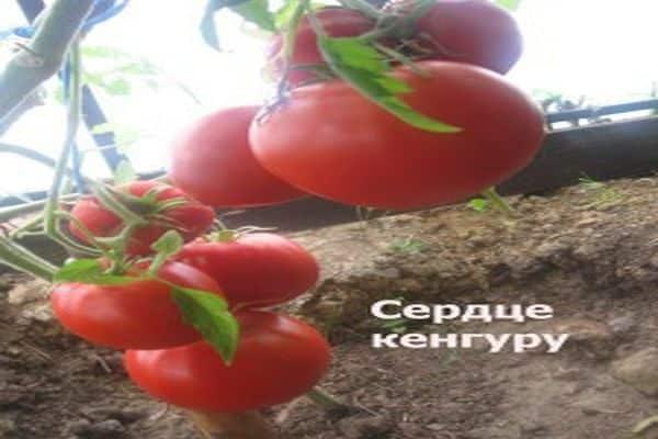 randament de tomate