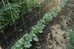 Cultivarea castraveților în paturi verticale do-it-yourself