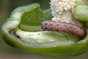 Les ravageurs du poivron et la lutte contre eux: que faire, que traiter