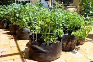 Tehnologia pas cu pas pentru cultivarea cartofilor ambalate