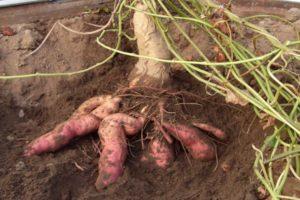 Περιγραφή γλυκοπατάτας Batat, τα οφέλη και τις βλάβες του, την καλλιέργεια και τη φροντίδα