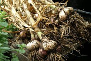 Când în 2020 este mai bine să recoltezi usturoi în Urale și în zile nefavorabile, păstrare