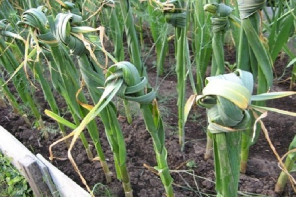 leguma este coaptă