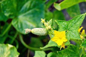 Opis odrody uhorky Malysh, jej výnos a starostlivosť