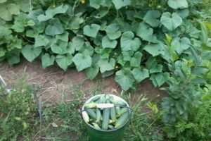 Beschrijving van de Vyaznikovsky-komkommervariëteit, aanbevelingen voor zorg en teelt