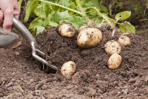 πρώιμες πατάτες
