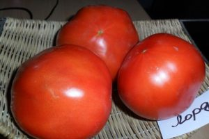 Opis odrody rajčiaka Pána, vlastnosti pestovania a starostlivosti