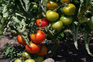 Descrierea soiului de tomate miraculoase, caracteristicile și caracteristicile cultivării sale