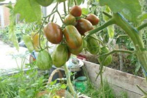 Descripción de la variedad de tomate superexótico, sus características y productividad