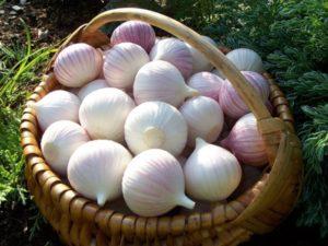 Plantarea, creșterea și îngrijirea usturoiului cu un cuișor la săpat și recoltare