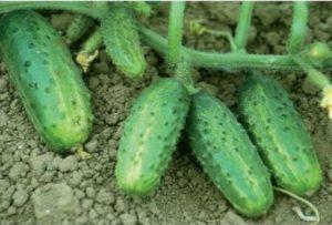 Beschrijving van de variëteit aan komkommers Farmer, kenmerken van teelt en opbrengst