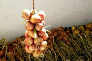 ¿Cómo almacenar adecuadamente las cebollas después de desenterrarlas en casa en un apartamento para que no desaparezcan?