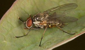 ¿Cómo lidiar con la mosca de la cebolla y los medios químicos?