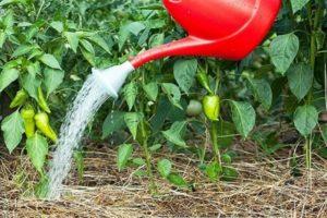 Cum să hrănești piperul cu iod și poate fi folosit ca îngrășământ?