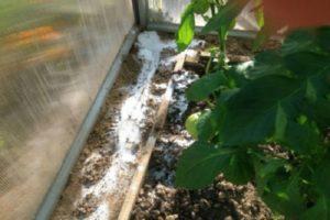 Cum să scapi rapid de furnici într-o seră cu castraveți, ce să faci?