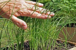 Plantar, cultivar y cuidar puerros al aire libre