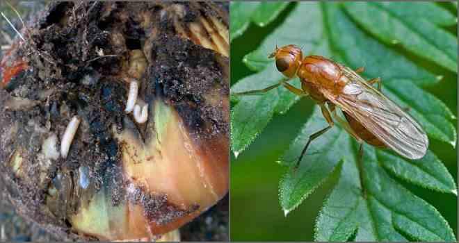 apariencia de la mosca de la cebolla