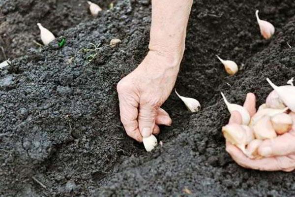 procesul de plantare a usturoiului
