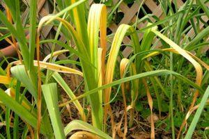 Az okok, amelyek miatt a fokhagyma sárgára vált a kertben, és mit kell tenni?