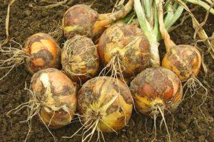 Cuándo cosechar cebollas en la región de la Tierra Negra, las regiones de Voronezh y Belgorod, el momento adecuado