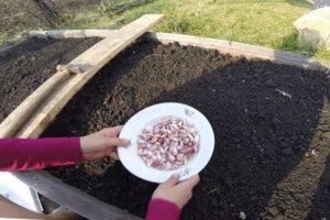 Plantarea, creșterea și îngrijirea usturoiului de primăvară pe câmp deschis, indiferent dacă este necesar să se lege și când