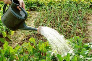¿Con qué frecuencia y correctamente regar las remolachas al aire libre?