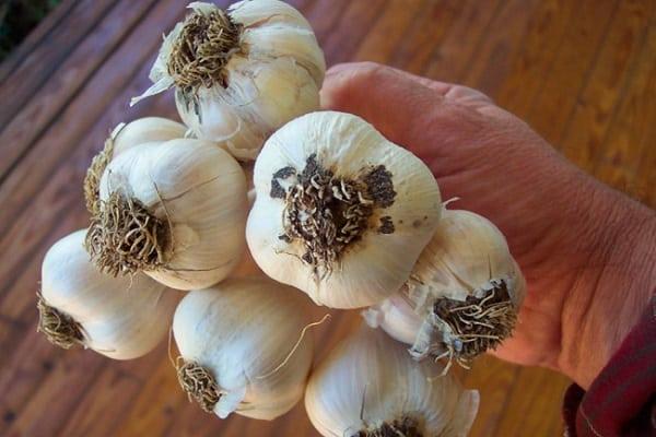 prepararea semințelor