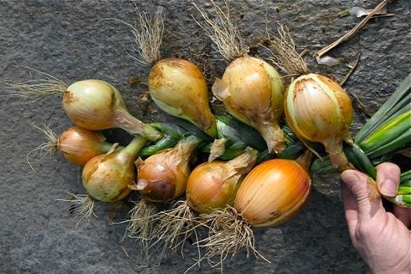 betakarított növény
