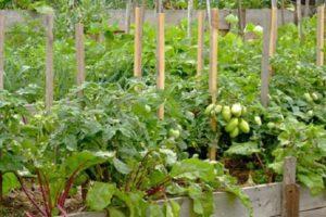 Con lo que se puede plantar remolacha en el mismo jardín, compatibilidad con cebollas y otras verduras.