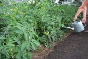 Cele mai bune soiuri de roșii pentru Transbaikalia, cum și când să plantăm răsaduri și să crească