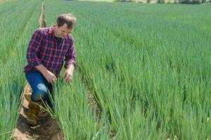 Hogyan kell kezelni a hagymakárosítókat, és mit kell tenni a kezeléshez?