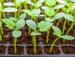 Cum să plantați în mod corespunzător răsaduri de castraveți supraîncărcați în sol deschis sau în seră