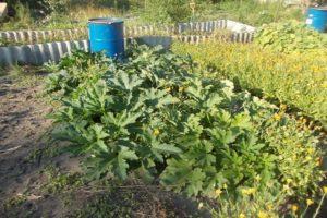 Cómo alimentar y fertilizar el calabacín durante la floración y la fructificación para acelerar la maduración.