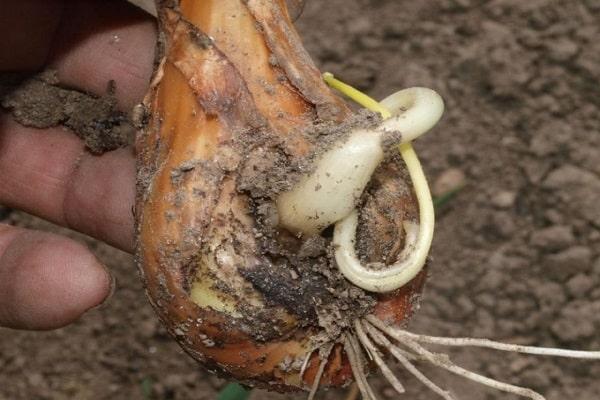 incumplimiento de la rotación de cultivos