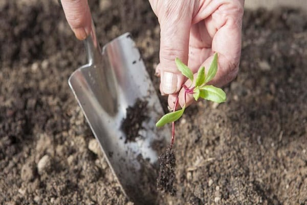 Qué hacer si aparecen manchas marrones o marrones en las hojas de remolacha, cómo tratar