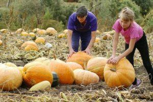 Cum să determinați maturitatea unui dovleac și perioada de maturare a acestuia pentru recoltare din grădină