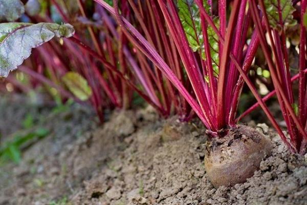 grandes cultivos de raíces