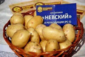 Descrierea soiului de cartofi Nevsky, caracteristicile și randamentul acestuia