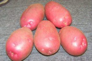 Περιγραφή της ποικιλίας πατάτας Ryabinushka, χαρακτηριστικά καλλιέργειας και απόδοση