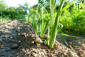 Medidas de control y tratamiento de las cebollas del mildiú velloso (mildiú velloso)