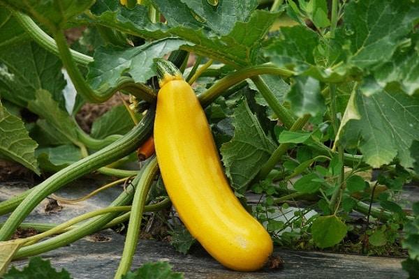 calabazín amarillo