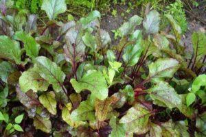 Por qué las hojas de remolacha se vuelven rojas y qué hacer