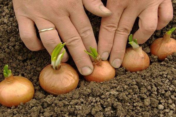 ültetés hagyma