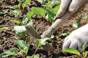 Secretos y técnicas agrícolas paso a paso para el cultivo y cuidado de la remolacha en campo abierto.